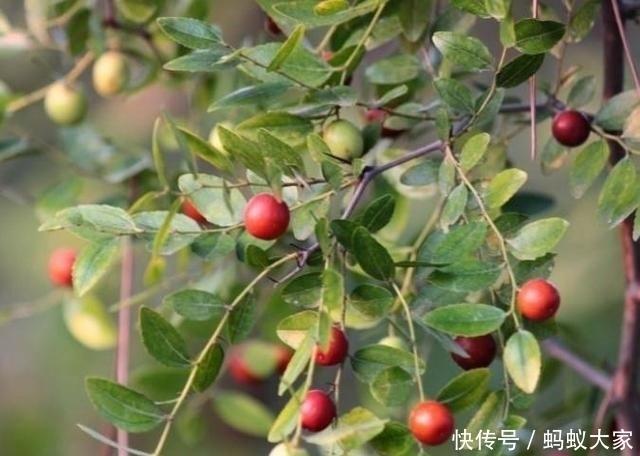 『小野枣』这种野生的小酸枣你吃过吗?农村的田间都是好东西,是童年
